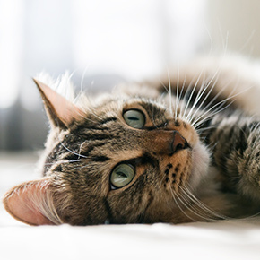 Everything you need to know about cats in heat